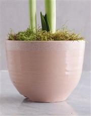 Elegant Amaryllis Plant