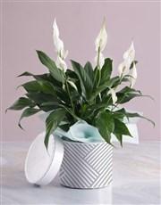 Pretty Lily Plant In Hatbox