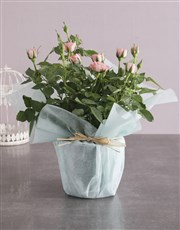 Pink Rose Bush Wrapped In Mint