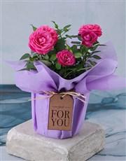 Cerise Rose Bush In Purple Wrap