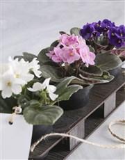Greatest Mom Violet Plant