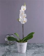 Modern Phalaenopsis Orchid in Splash Pot