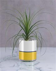Personalised Daddy Rocks Ponytail Palm