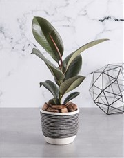 Ficus Robusta in Stripe Black Pot