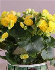 Personalised Begonia Thank You Arrangement