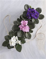Thank Trio Of African Violets