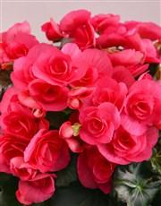 Personalised Begonia Birthday Arrangement