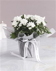 Angelic Chrysanthemum Blossoms