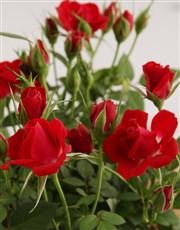 Pongracz and Red Rose Bush