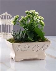 White Kalanchoe in Ceramic Pot