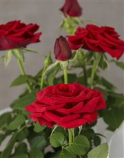 Red Rose Bush Romantic Hamper
