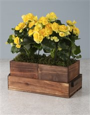 Beautiful Begonias In Wooden Boxes