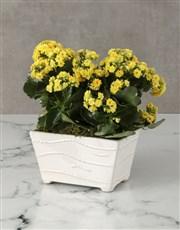 Kalanchoe In Ceramic Planter