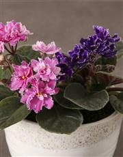 African Violets In White Ceramic Pot