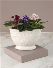 African Violets In Chic Ceramic Pot