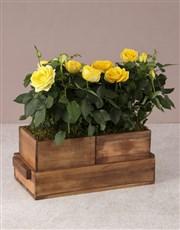Gardeners Dream Rose Bush