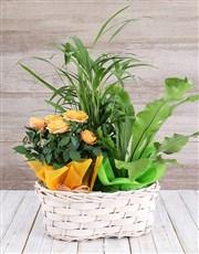 Rose Bush & Plants in Basket