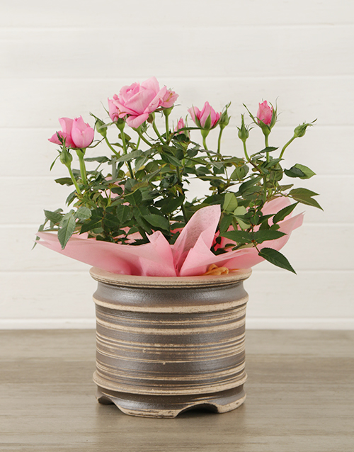 flowers: 14cm Potted Rose Plant!