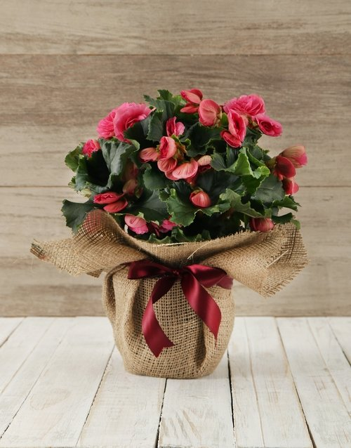 begonia: Begonia Plant in Hessian Wrapping!