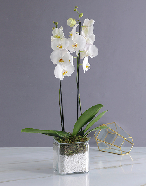 colour: Phalaenopsis Orchid Duo!