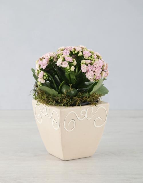 colour: Kalanchoe In Ceramic Pot!