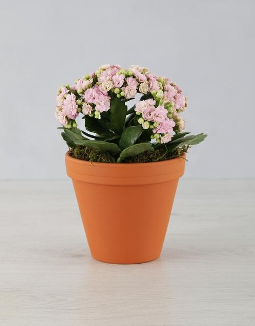 colour: Kalanchoe Pot Plant!