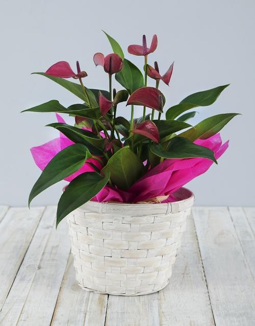 plants: Anthurium in White Basket!