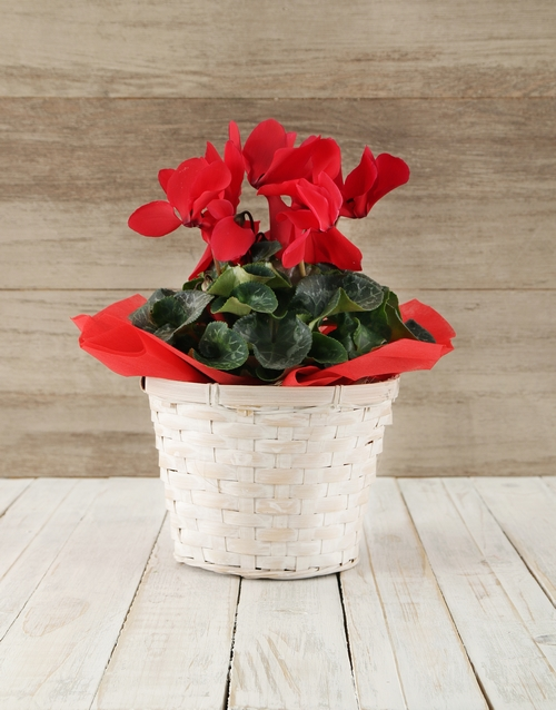 baskets: Red Cyclamen in a Crysanth Basket!