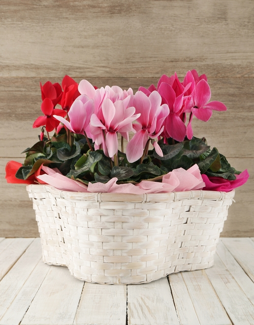 basket: Mixed Cyclamens in a Crysanth Basket!