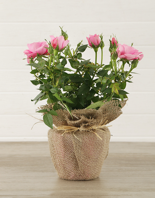 colour: Pink Rose Bush in Hessian Wrapping!