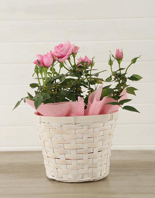 roses: Pink Rose Bush in Planter!