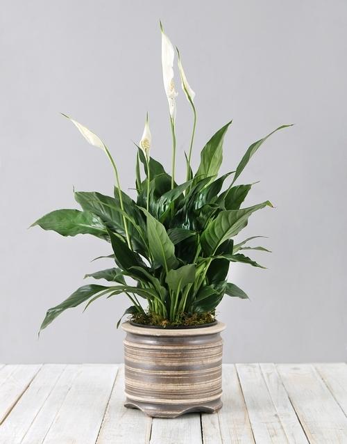 colour: Spathiphyllum Pot Plant!