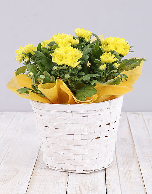 colour: Yellow Chrysanthemum Plant Basket!