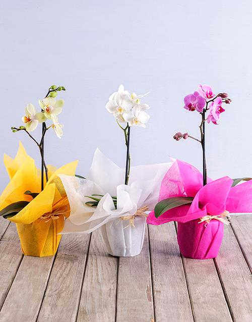 colour: Midi Phalaenopsis Orchid!