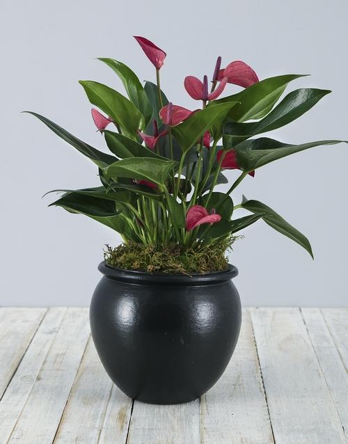 colour: Anthurium Plant in Black Pottery!