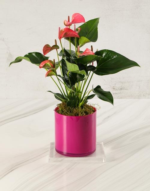 colour: Anthurium in Pink Cylinder Vase!