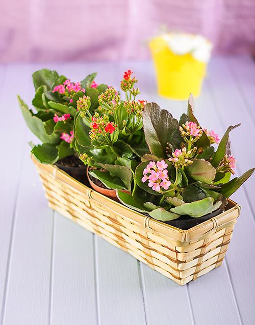 baskets: Three Kalanchoe in a Basket!