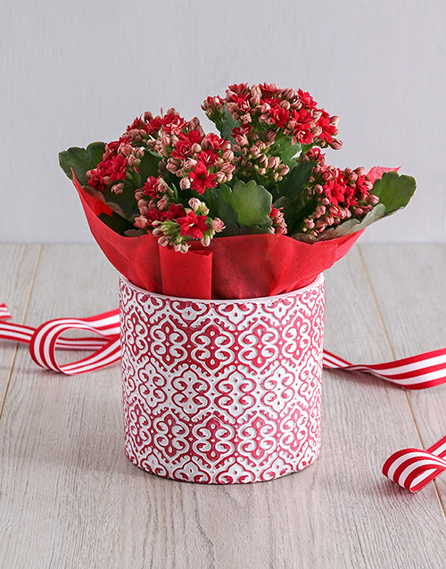 year-end: Kalanchoe Plant in Red Embossed Cement Pot!
