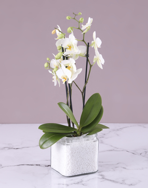 love-and-romance: Mini White Orchid in Stone Filled Vase!
