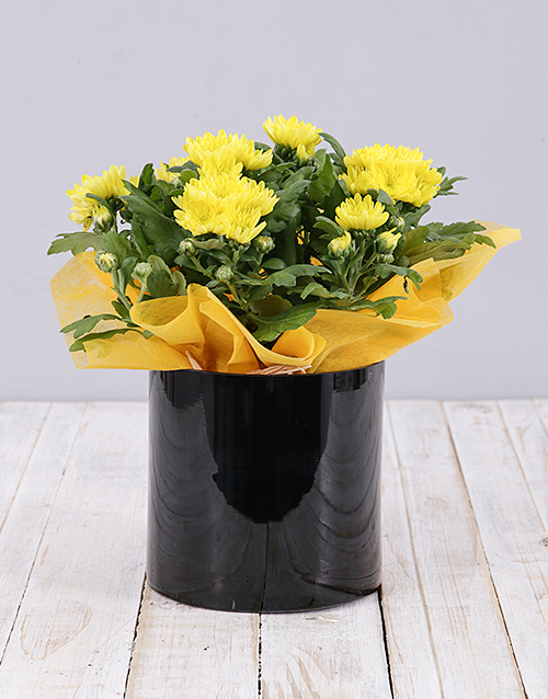 colour: Yellow Chrysanthemum Plant in Black Cylinder Vase!