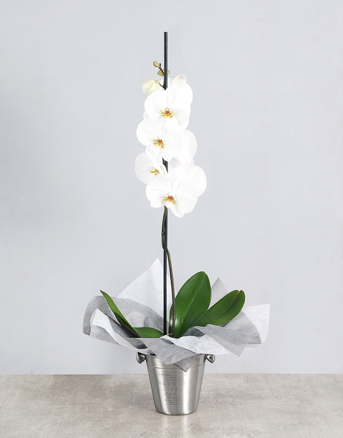 anniversary: White Phalaenopsis Orchid in Ice Bucket!