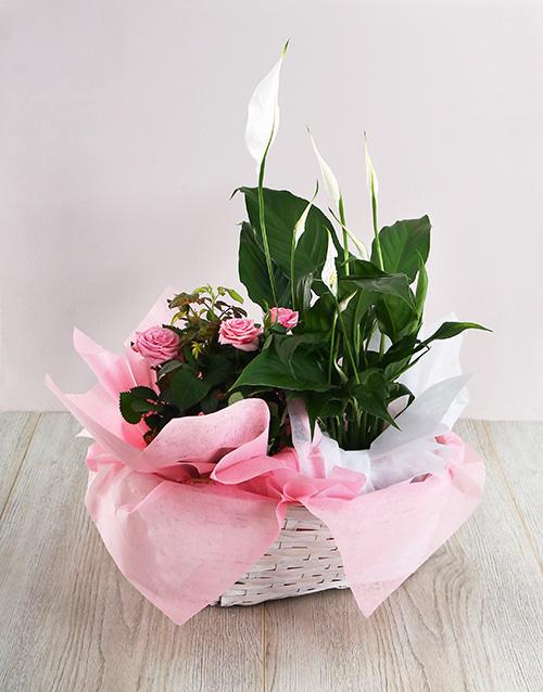 baskets: Basket of Spathiphyllum and Rose Bush!