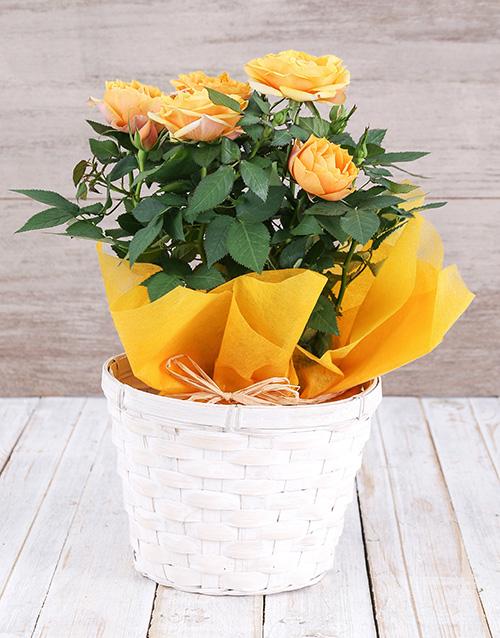 basket: Yellow Rose Bush in Planter!