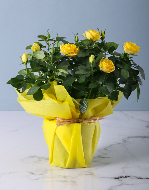 apology: Yellow Rose Bush in Wrapping!