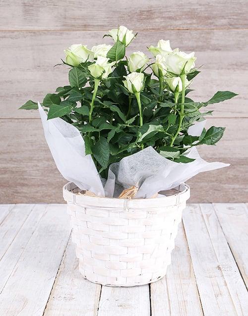 colour: White Rose Bush in Planter!