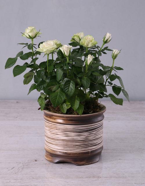 roses: White Rose Bush in Ceramic Pot!