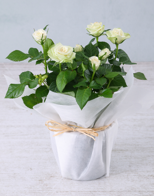 friendship: White Rose Bush in Wrapping!