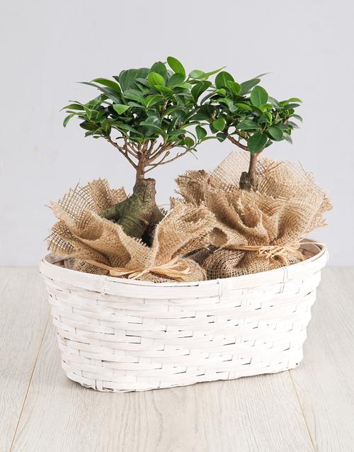 basket: Ficus Bonsai Trees in Double Basket!