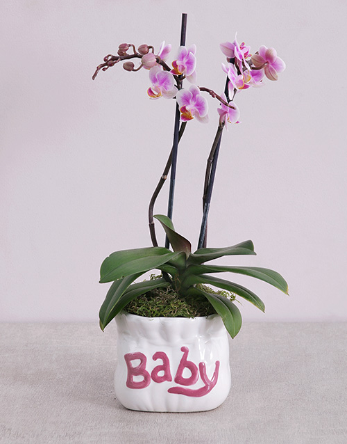 colour: Midi Phalaenopsis Orchid in Pink Baby Vase!