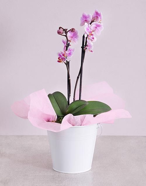 friendship: Midi Phalaenopsis Orchid in White Bucket!